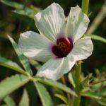 Листья и цветок гибискуса коноплевого