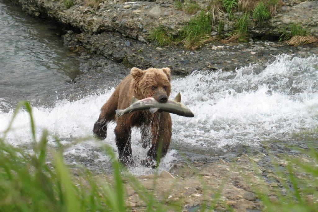 Бурый медведь с кетой в зубах