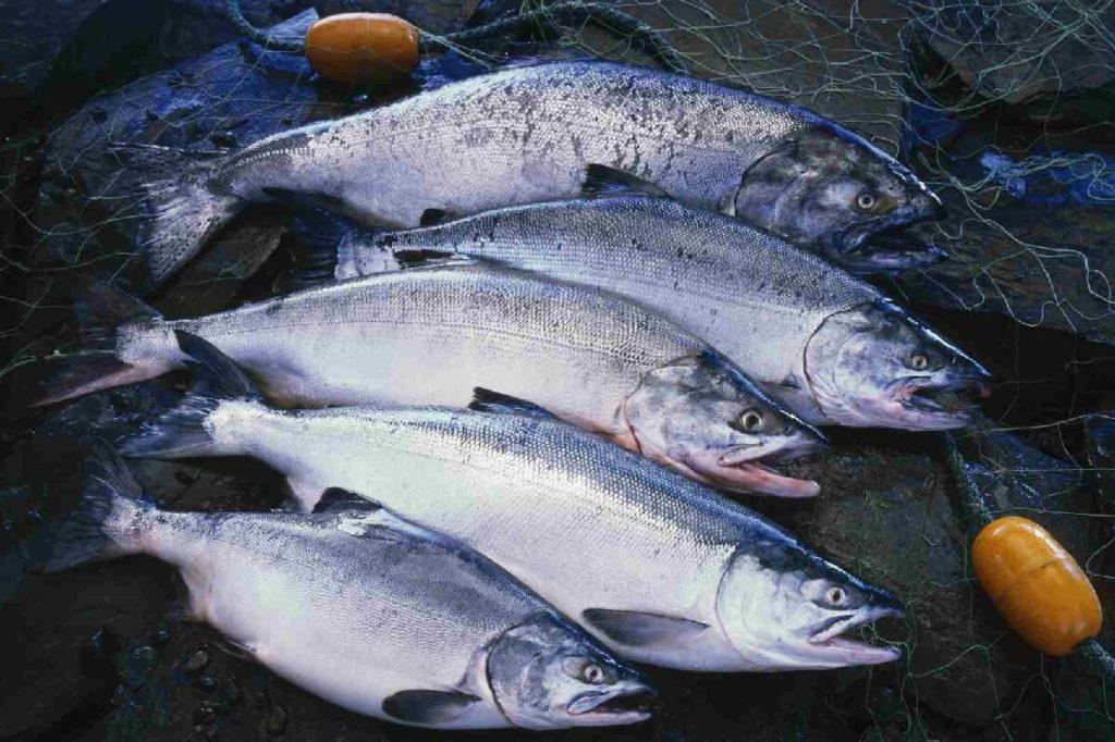 Представители разных видов лососевых