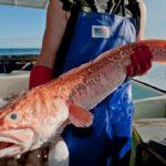 Большая рыба конгрио в руках