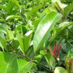 Побеги и листья чая кудин