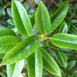 Растение падуб широколистный с зелеными плодами