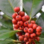 Спелые плоды падуба широколистного
