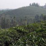 Плантация чая кудин в Китае