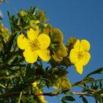 Желтые цветы лапчатки