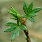 Зеленые листья курильского чая