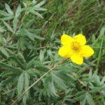 Цветок и листья Дазифоры