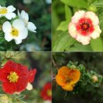 Цветки декоративной кустарниковой лапчатки разных цветов