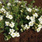 Белые цветы декоративной кустарниковой лапчатки