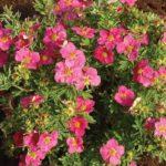 Розовые цветы декоративной кустарниковой лапчатки
