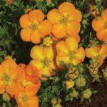 Оранжевые цветы декоративной кустарниковой лапчатки
