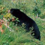 Медведь ест малину