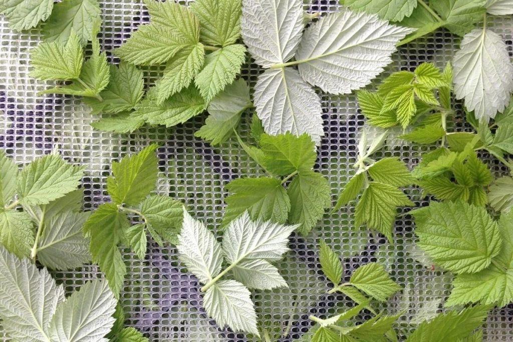 Сушка листьев малины
