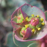 Цветы молочая