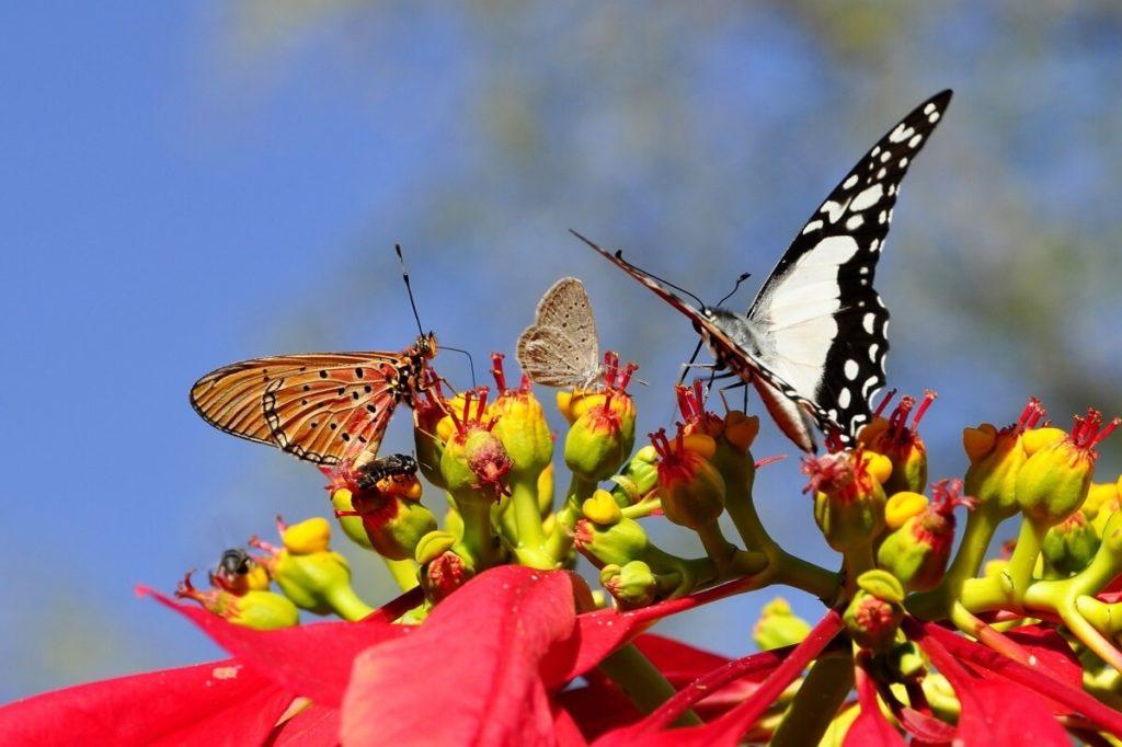 Бабочки на цветке молочая красивейшего (пуансеттии)