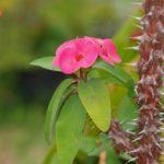 Цветы молочая Миля