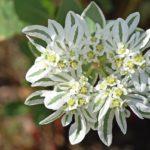Цветы молочая окаймленного