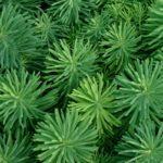 Листья молочая кипарисового