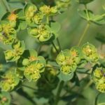 Цветы молочая прутьевидного