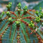 Цветы молочая тучного