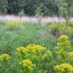 Молочай болотный в естественном ареале произростания