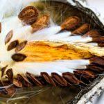 Семена молочая внутри плода