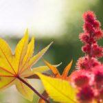 Желтые листья и красные плоды клещевины