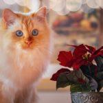 Кот и горшок с пуансеттией
