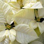 Молочай красивейший (белая пуансеттия)