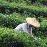 Сбор чая улун