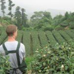 Плантация чая улун