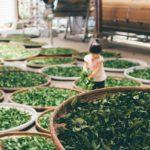 Ферментация чая улун