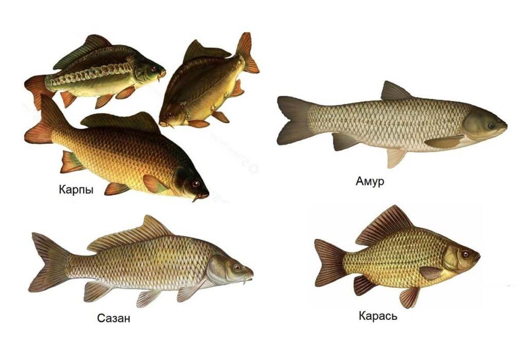 Отличия сазана от других рыб