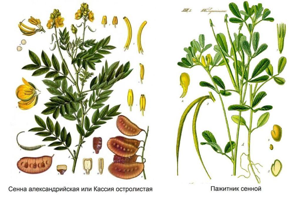 Сенна александрийская и Пажитник сенной