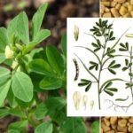 Хельба (пажитник сенный), внешний вид и семена