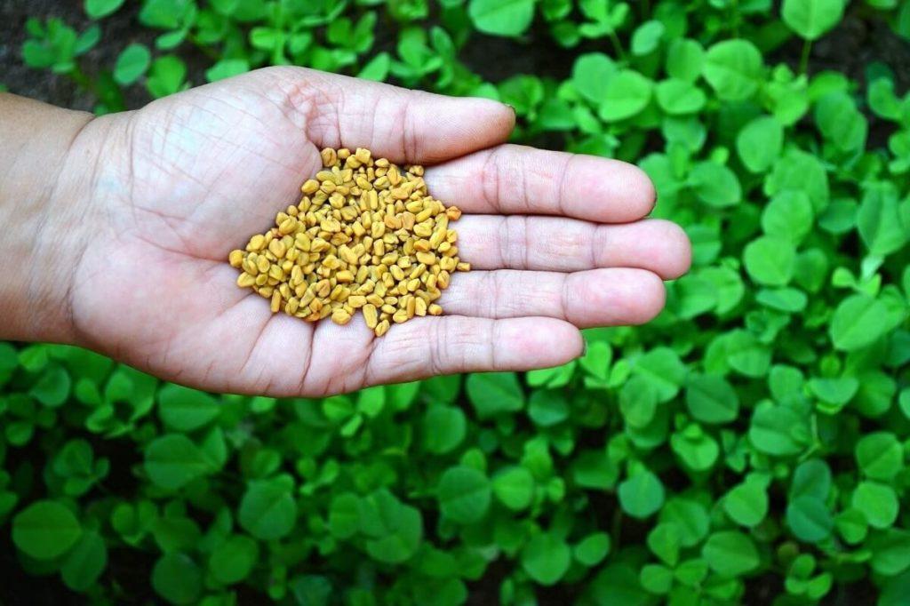 Семена хельбы на ладони