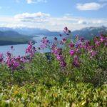 Копеечник альпийский (Hedysarum alpinum)