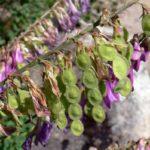 Плоды копеечника забытого (Hedysarum neglectum)