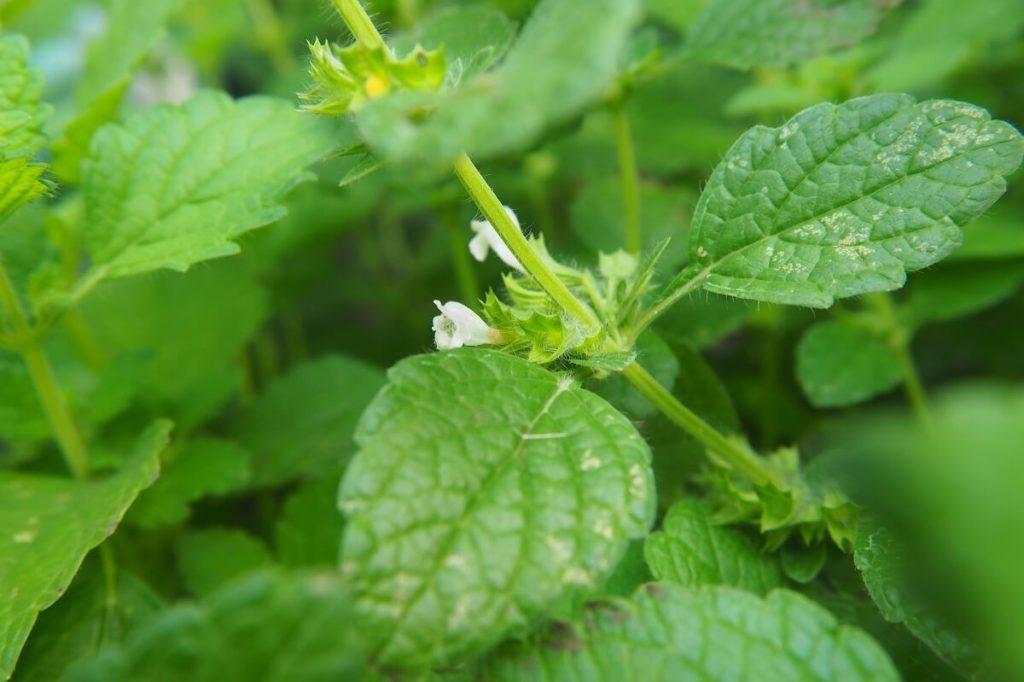 Листья и цветы мелиссы лекарственной