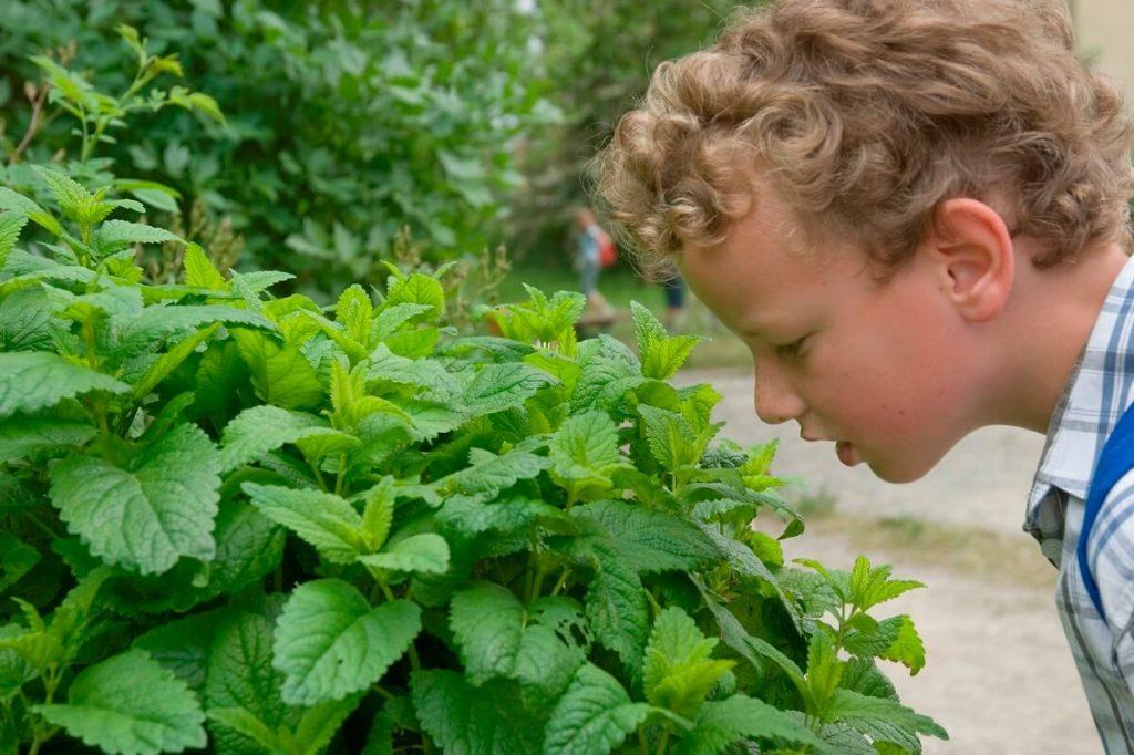 Мальчик рассматривает куст мелиссы