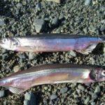 Две рыбки мойвы на земле