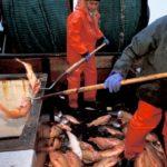 Промышленный вылов морского окуня
