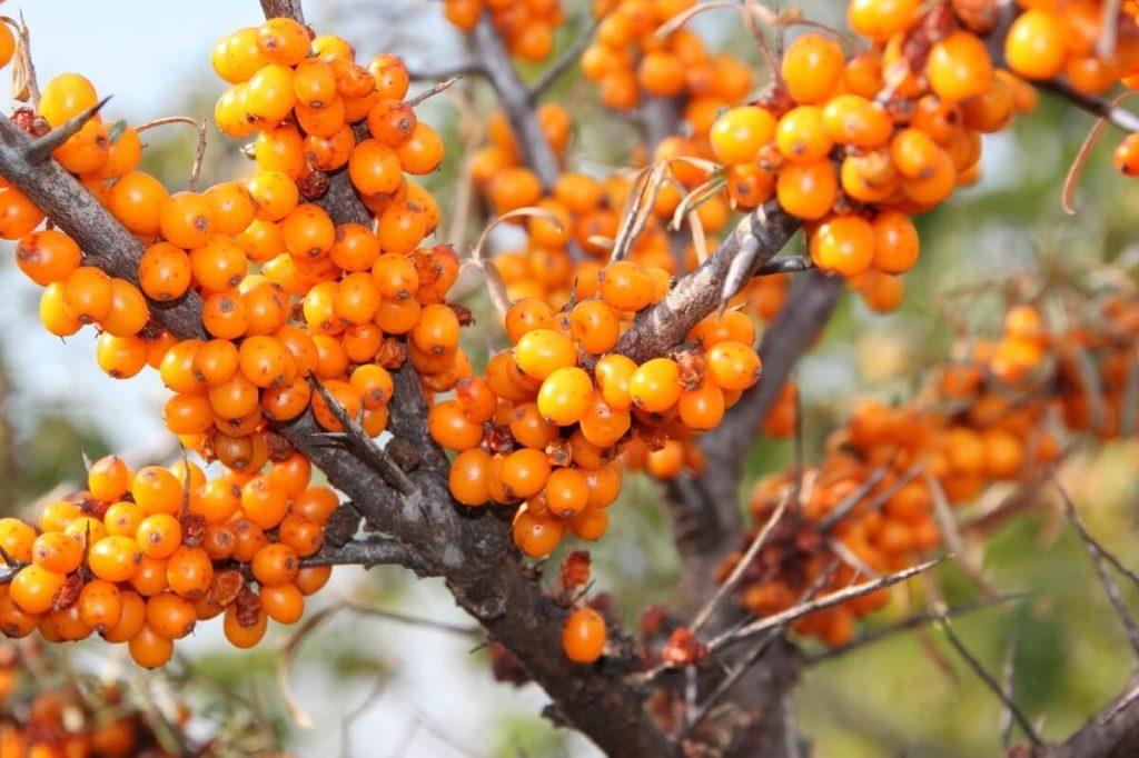 Плоды облепихи на дереве