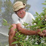 Пожилой мужчина собирает жимолость