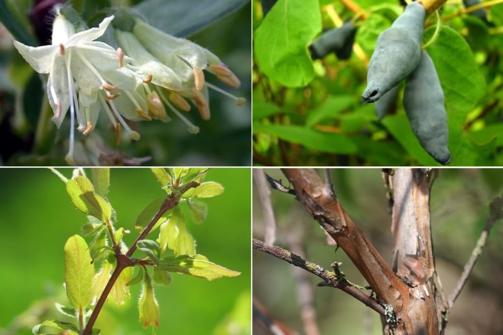 Цветы, листья, ягоды и кора жимолости