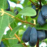 Ветка жимолости с плодами и листьями