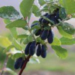 Ветка жимолости с плодами
