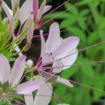 Цветение японской жимолости