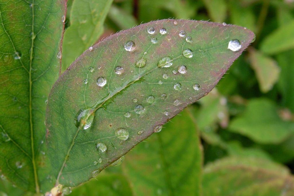Лист жимолости голубой