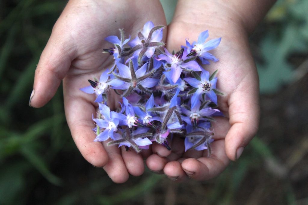 цветки бораго в руках